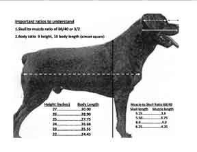 The Rottweiler Body Type Structure 0419 By Rottweilers Of Today