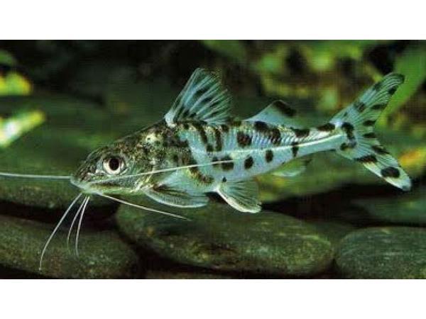 The Catfish Cave: Pimelodus Catfish