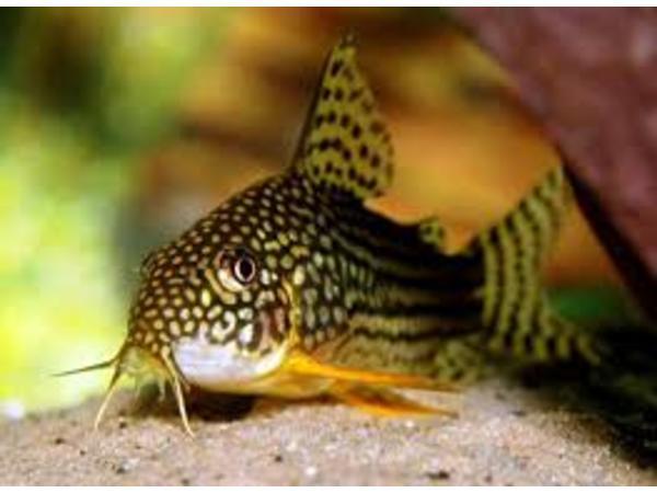 The Catfish Cave: Corydoras Catfish W/ Lynn Mathney