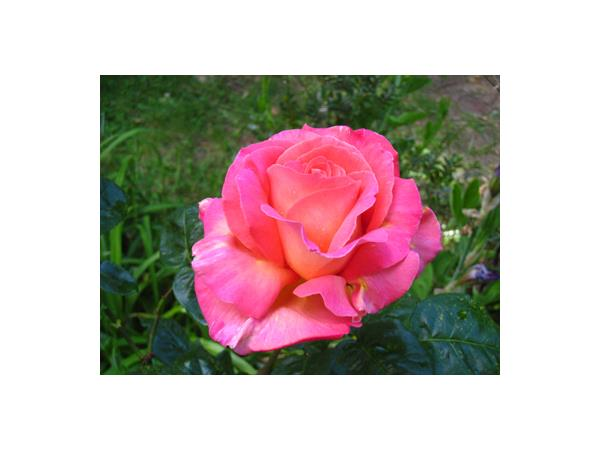 Lucky Mojo Hoodoo Rootwork Hour: Rose the Queen of Flowers