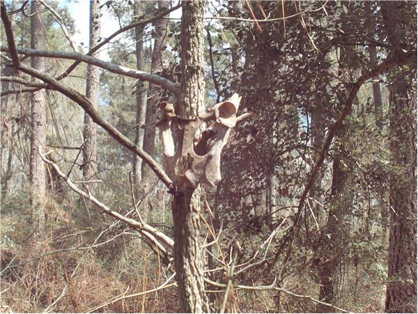 stalking the east texas sasquatch 05  25 by the big thicket