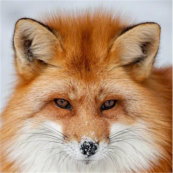 Kel aka Red Fox