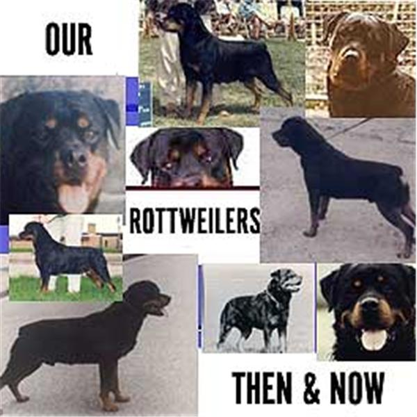 ROTTWEILERS OF TODAY
